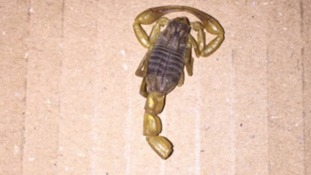 Scorpion found in Amazon delivery