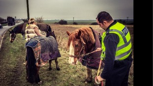 Officers help round up the horses