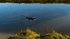 Dolphins spotted swimming in Great Ouse