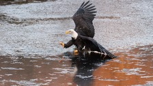 Bald eagle photographed hunting in Devon