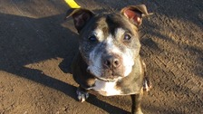 Staffordshire bull terrier Jodie is an hermaphrodite