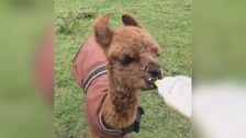 Meet 'Milky Joe', the baby Alpaca heading for big things...