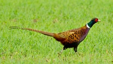 10,000 pheasant to die in Avian Flu outbreak