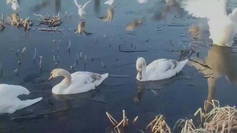 swans_carol_for_web