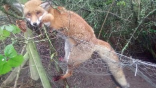 The fox trapped in a wire snare.