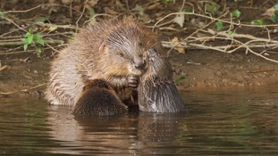 Beaver kits first born in Britain for hundreds of years
