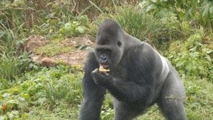 Why do gorillas like jacket potatoes so much?