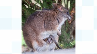 Wallaby in pouch
