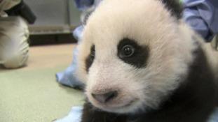 Panda Xiao Liwu.