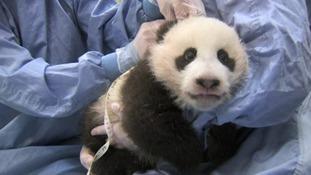 Panda Xiao Liwu being examined.