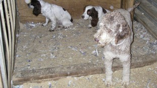 The dogs were kept in cages in dark sheds at a travellers' site.