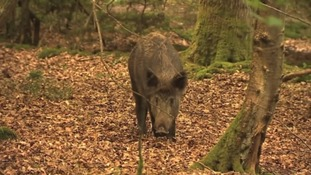 Local farmer: wild boar should be given contraception to keep their numbers down
