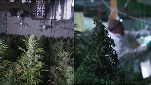 More than 600 plants were discovered inside the house.