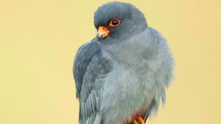 A red-footed falcon.