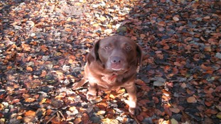 Topsy the chocolate labrador in the autumn leaves.
