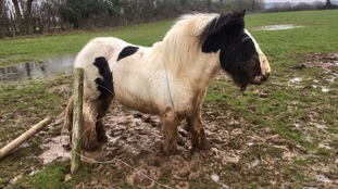 Watch: Sad pony freed after getting trapped in mud