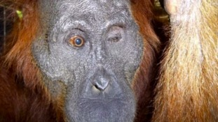 Vet 'hopeful' orangutan's eye surgery successful