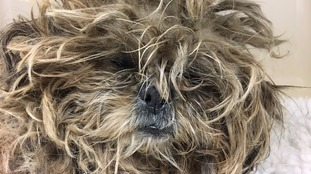 This matted ball of fur is actually a neglected dog