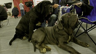Neapolitan Mastiff dogs at an exhibition in Russia