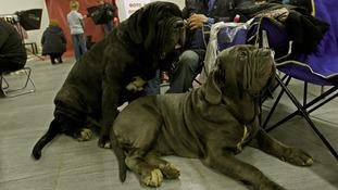 Neapolitan Mastiff dogs at an exhibition in Russia