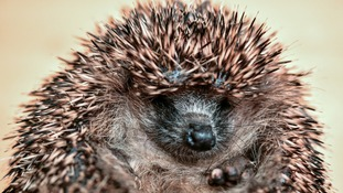 Hedgehogs are vanishing from Britain's gardens