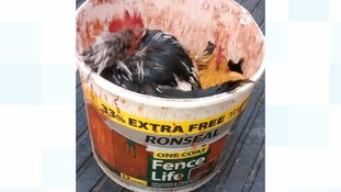 Chickens found squeezed and abandoned in paint bucket