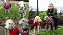 Coco and Bob aren't your average Bedlington Terriers.