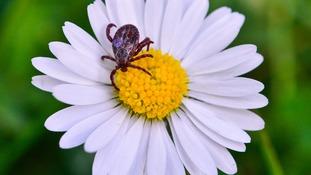 Tick on a daisy