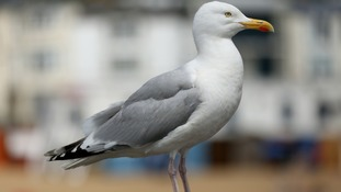 Future of 'aggressive' seagulls debated in Parliament