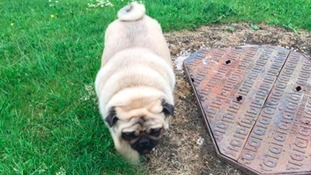 Massive Marshal the pug weighs more than TWO STONE