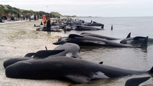 Whales beached at the tip of the South Island