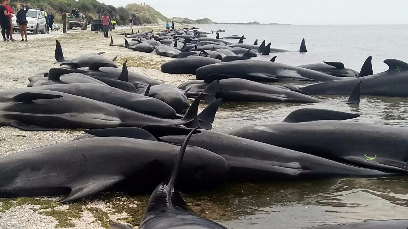 Volunteers Race To Save Hundreds Of Beached Whales