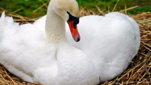 Swans found decapitated in Exeter