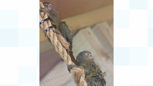 Early valentines romance for Midlands Marmosets