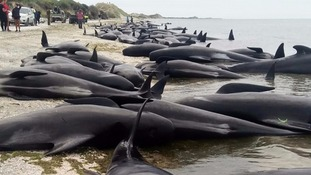 Volunteers fight to save hundreds of beached whales in New Zealand