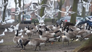 Call for cull after hundreds of geese 'take over' park