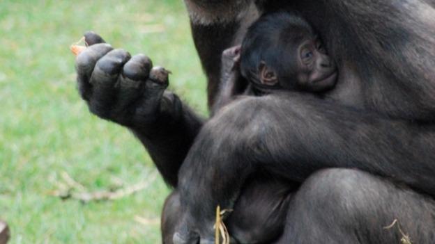 albino gorilla barcelona