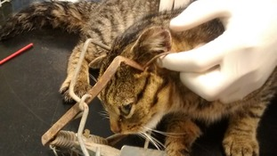 Curiosity the cat is nearly killed after being caught in a trap