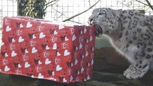 Snow leopard Taiga gets to grips with a Valentine's presents