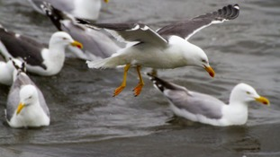 Scarborough Council to spend £36k on 'nuisance gulls'