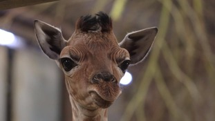 Baby giraffe finds its feet at West Midlands Safari Park