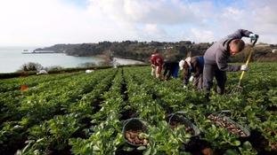 Potato pickers in a field in Jersey