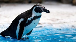 A Humboldt penguin.