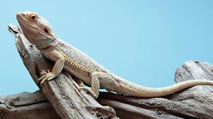 A bearded dragon in a vivarium