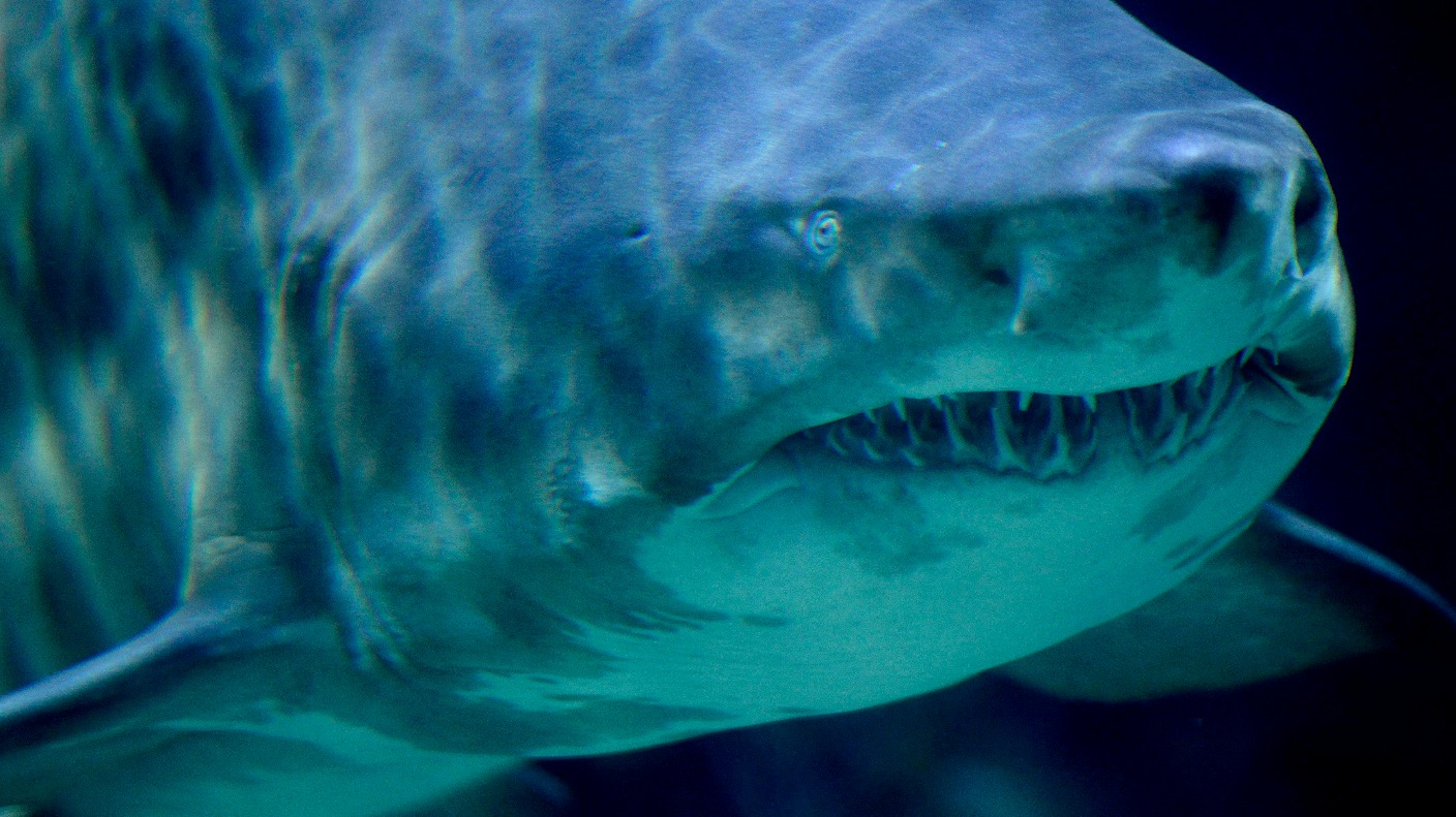 Sand tiger shark eating fish