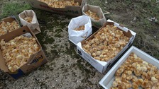 Hundreds of little chicks dumped in field