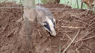 Badger rescued