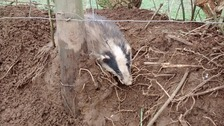 Badger rescued