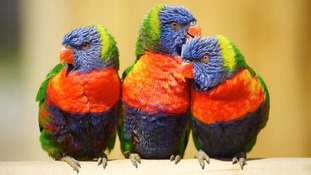 The lorikeets were killed by poison intended for rats