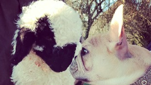 Lamb thinks he's a dog after being rejected by mother